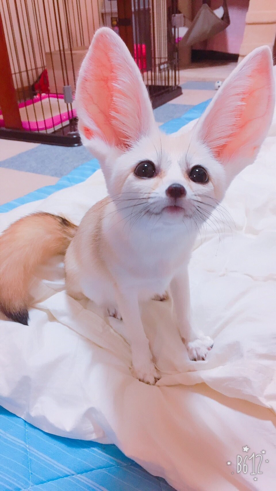A fennec looking up at you hopefully